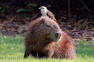 320px-yellow-headed_caracara_28milvago_chimachima29_on_capybara_28hydrochoeris_hydrochaeris29